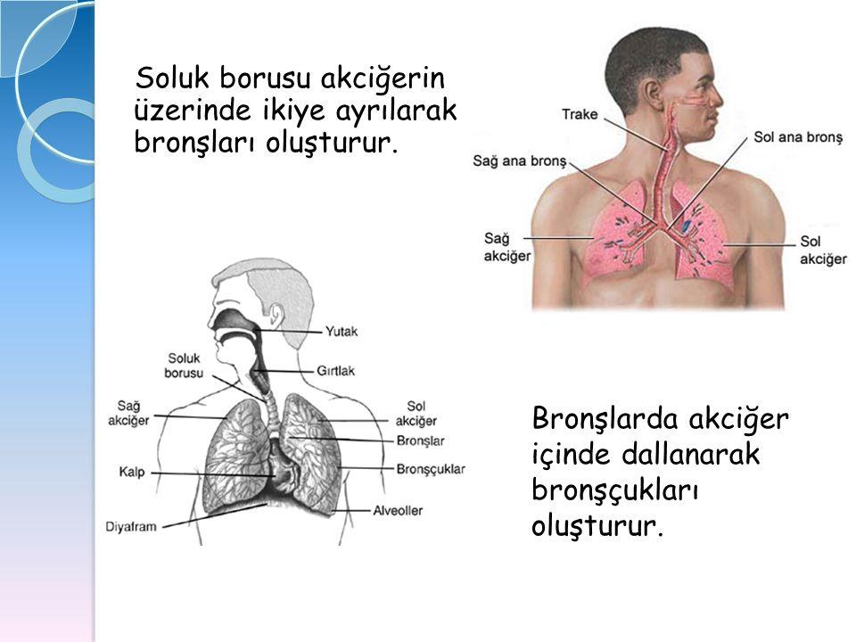 Soluk borusu akciğerin üzerinde ikiye ayrılarak bronşları oluşturur. Bronşlarda akciğer içinde dallanarak bronşçukları oluşturur.