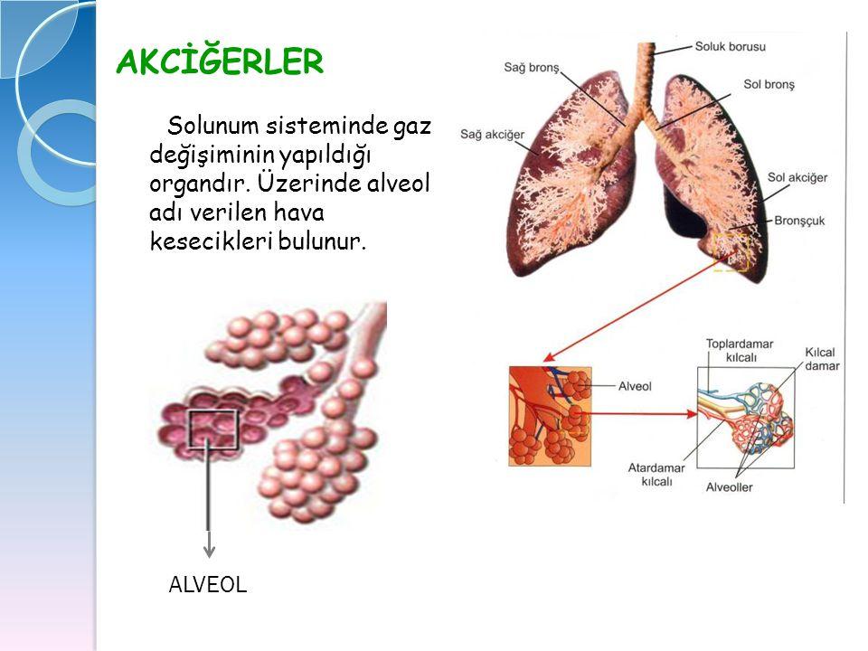 AKCİĞERLER Solunum sisteminde gaz değişiminin yapıldığı organdır. Üzerinde alveol adı verilen hava kesecikleri bulunur. ALVEOL