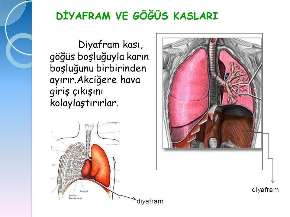 DİYAFRAM VE GÖĞÜS KASLARI Diyafram kası, göğüs boşluğuyla karın boşluğunu birbirinden ayırır.Akciğere hava giriş çıkışını kolaylaştırırlar. diyafram