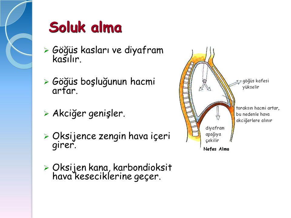 Soluk alma  Göğüs kasları ve diyafram kasılır.  Göğüs boşluğunun hacmi artar.  Akciğer genişler.  Oksijence zengin hava içeri girer.  Oksijen kan