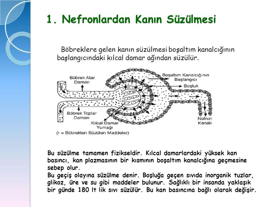 1. Nefronlardan Kanın Süzülmesi Böbreklere gelen kanın süzülmesi boşaltım kanalcığının başlangıcındaki kılcal damar ağından süzülür. Bu süzülme tamame