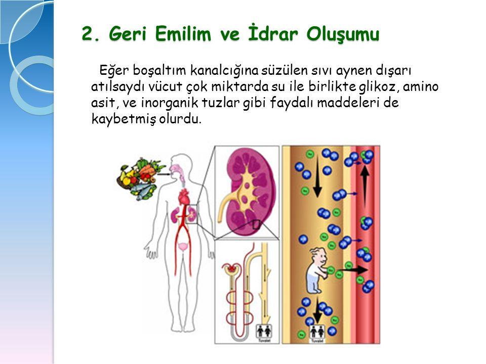 2. Geri Emilim ve İdrar Oluşumu Eğer boşaltım kanalcığına süzülen sıvı aynen dışarı atılsaydı vücut çok miktarda su ile birlikte glikoz, amino asit, v