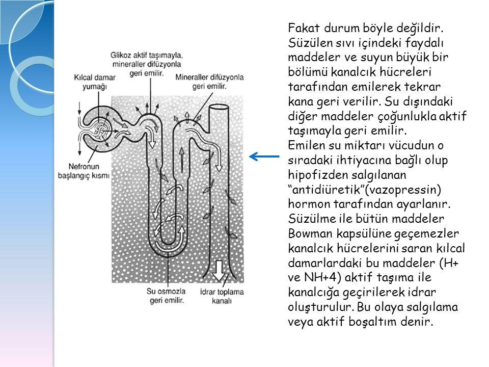 Fakat durum böyle değildir. Süzülen sıvı içindeki faydalı maddeler ve suyun büyük bir bölümü kanalcık hücreleri tarafından emilerek tekrar kana geri v