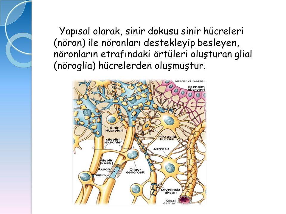 Yapısal olarak, sinir dokusu sinir hücreleri (nöron) ile nöronları destekleyip besleyen, nöronların etrafındaki örtüleri oluşturan glial (nöroglia) hü