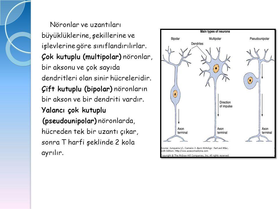 Nöronlar ve uzantıları büyüklüklerine, şekillerine ve işlevlerine göre sınıflandırılırlar. Çok kutuplu (multipolar) nöronlar, bir aksonu ve çok sayıda