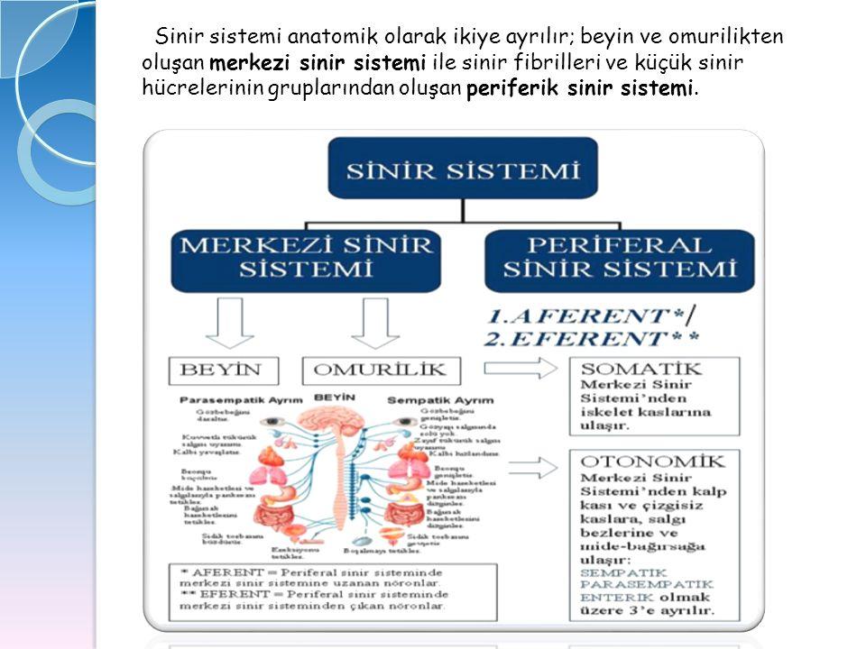 Sinir sistemi anatomik olarak ikiye ayrılır; beyin ve omurilikten oluşan merkezi sinir sistemi ile sinir fibrilleri ve küçük sinir hücrelerinin grupla