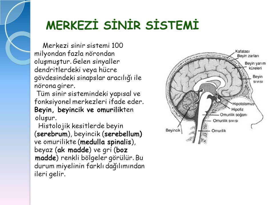 MERKEZİ SİNİR SİSTEMİ Merkezi sinir sistemi 100 Merkezi sinir sistemi 100 milyondan fazla nörondan milyondan fazla nörondan oluşmuştur. Gelen sinyalle