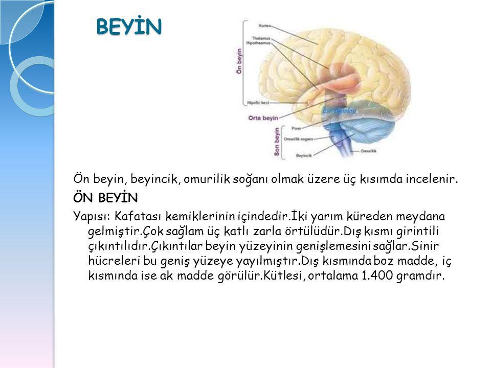 BEYİN Ön beyin, beyincik, omurilik soğanı olmak üzere üç kısımda incelenir. ÖN BEYİN Yapısı: Kafatası kemiklerinin içindedir.İki yarım küreden meydana
