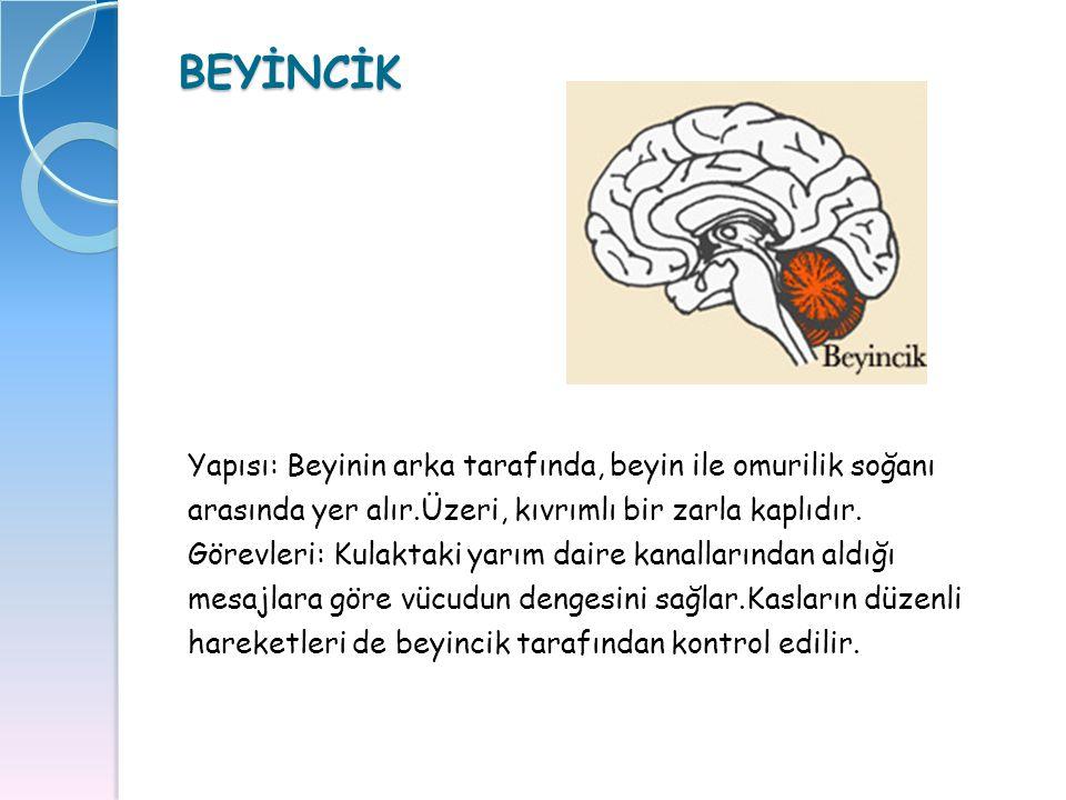 BEYİNCİK Yapısı: Beyinin arka tarafında, beyin ile omurilik soğanı arasında yer alır.Üzeri, kıvrımlı bir zarla kaplıdır. Görevleri: Kulaktaki yarım da