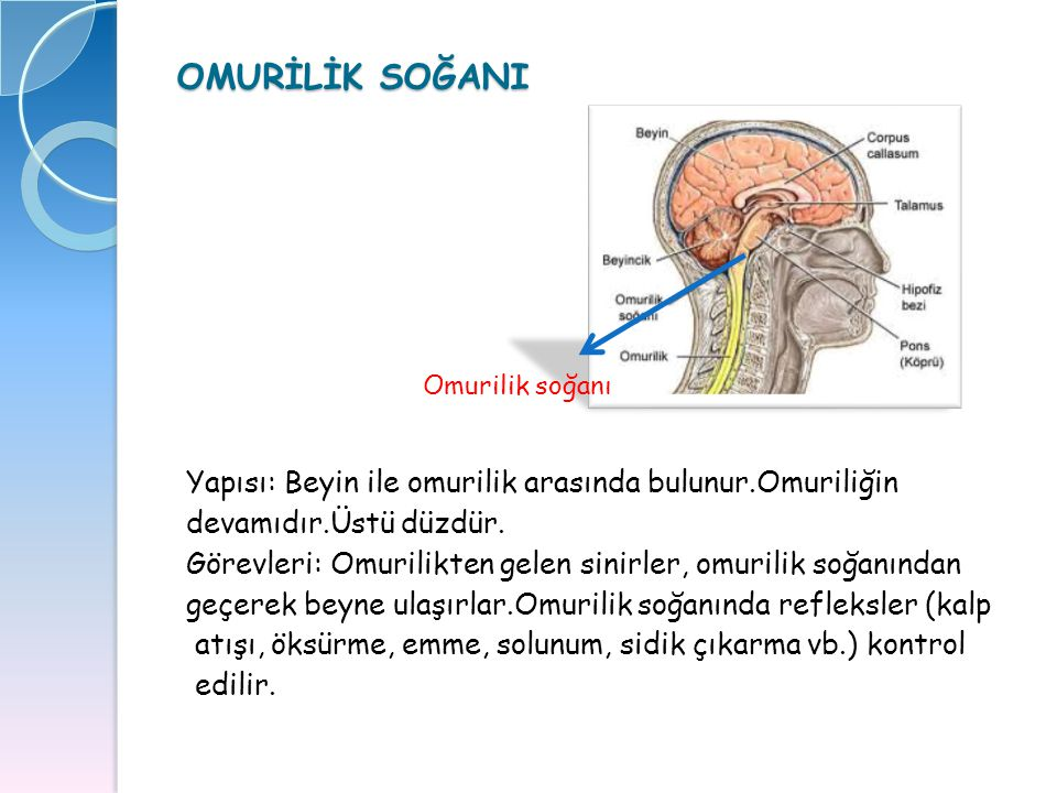 OMURİLİK SOĞANI Yapısı: Beyin ile omurilik arasında bulunur.Omuriliğin devamıdır.Üstü düzdür. Görevleri: Omurilikten gelen sinirler, omurilik soğanınd