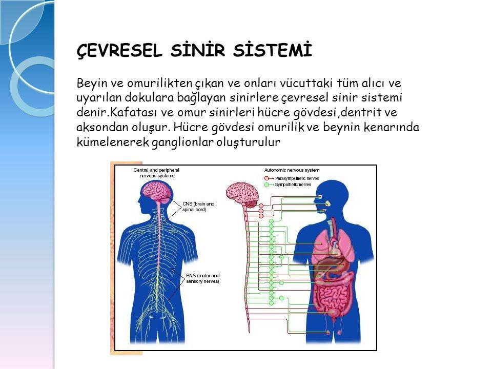 ÇEVRESEL SİNİR SİSTEMİ Beyin ve omurilikten çıkan ve onları vücuttaki tüm alıcı ve uyarılan dokulara bağlayan sinirlere çevresel sinir sistemi denir.K