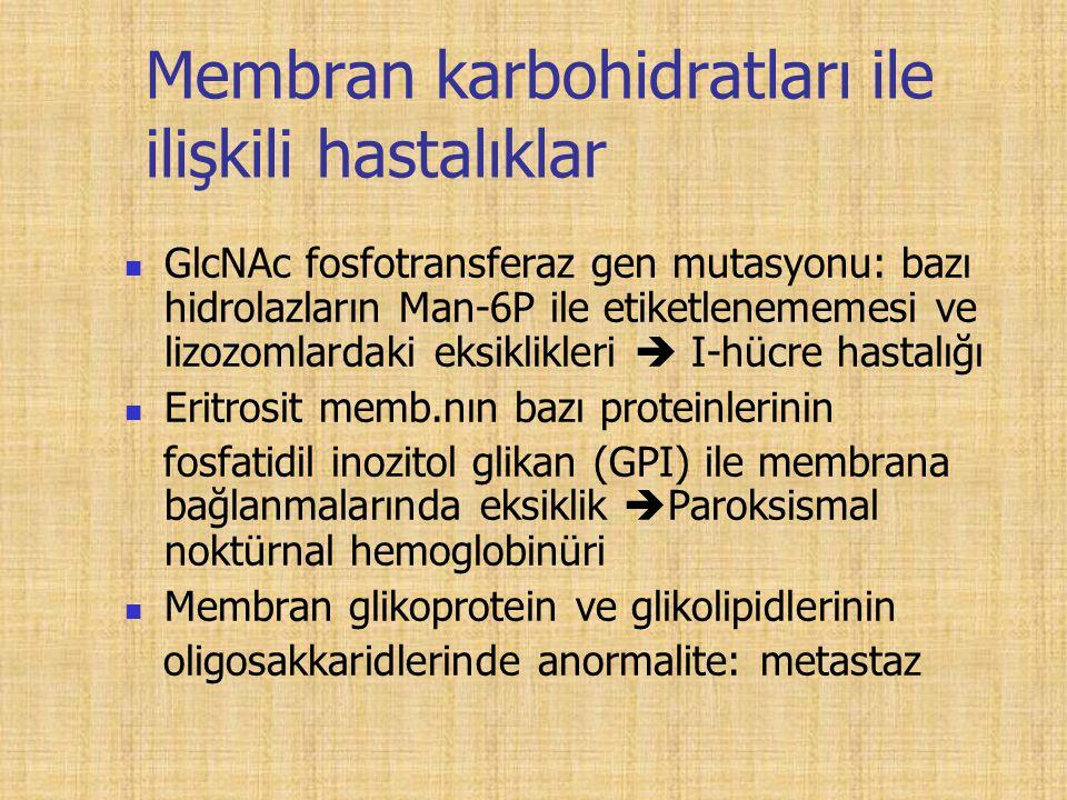 Membran karbohidratları ile ilişkili hastalıklar GlcNAc fosfotransferaz gen mutasyonu: bazı hidrolazların Man-6P ile etiketlenememesi ve lizozomlardaki eksiklikleri  I-hücre hastalığı Eritrosit memb.nın bazı proteinlerinin fosfatidil inozitol glikan (GPI) ile membrana bağlanmalarında eksiklik  Paroksismal noktürnal hemoglobinüri Membran glikoprotein ve glikolipidlerinin oligosakkaridlerinde anormalite: metastaz