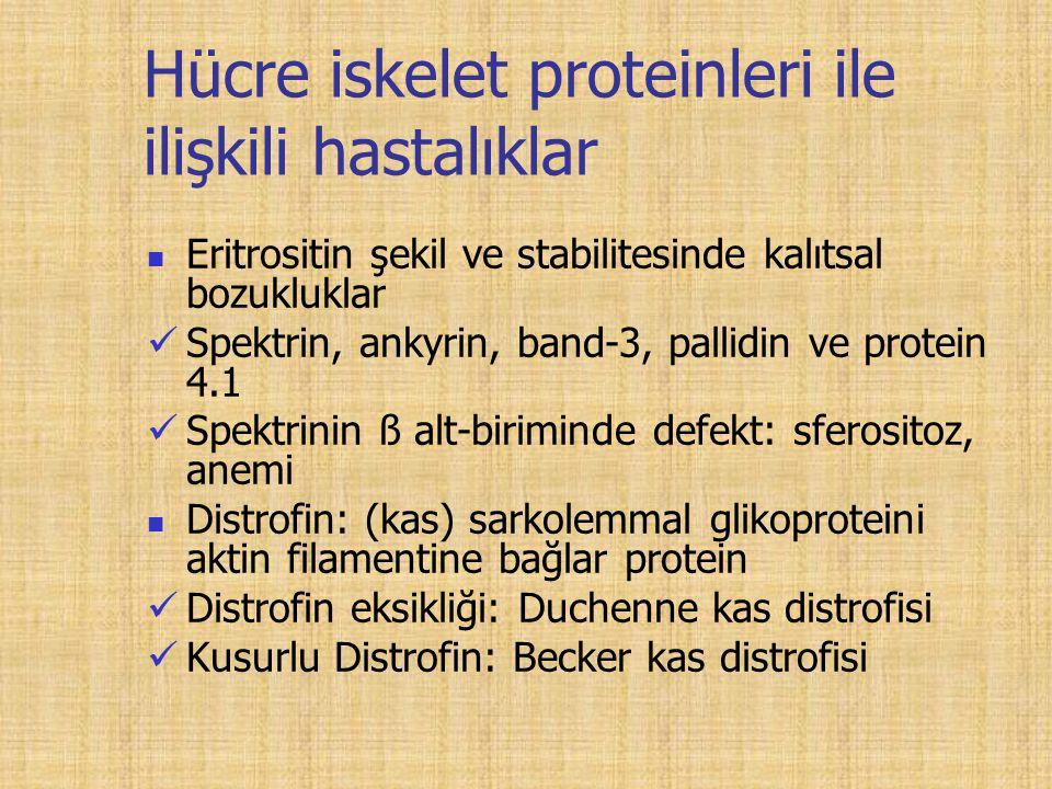 Hücre iskelet proteinleri ile ilişkili hastalıklar Eritrositin şekil ve stabilitesinde kalıtsal bozukluklar Spektrin, ankyrin, band-3, pallidin ve protein 4.1 Spektrinin ß alt-biriminde defekt: sferositoz, anemi Distrofin: (kas) sarkolemmal glikoproteini aktin filamentine bağlar protein Distrofin eksikliği: Duchenne kas distrofisi Kusurlu Distrofin: Becker kas distrofisi