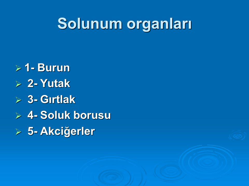 Solunum organları  1- Burun  2- Yutak  3- Gırtlak  4- Soluk borusu  5- Akciğerler