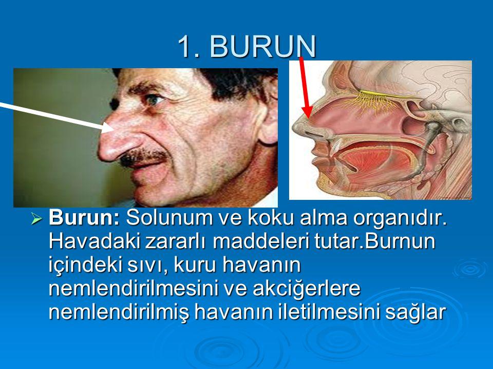 1. BURUN  Burun: Solunum ve koku alma organıdır. Havadaki zararlı maddeleri tutar.Burnun içindeki sıvı, kuru havanın nemlendirilmesini ve akciğerlere