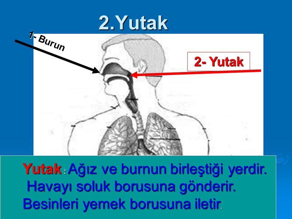 2.Yutak 1- Burun 2- Yutak Yutak : Ağız ve burnun birleştiği yerdir. Havayı soluk borusuna gönderir. Havayı soluk borusuna gönderir. Besinleri yemek bo