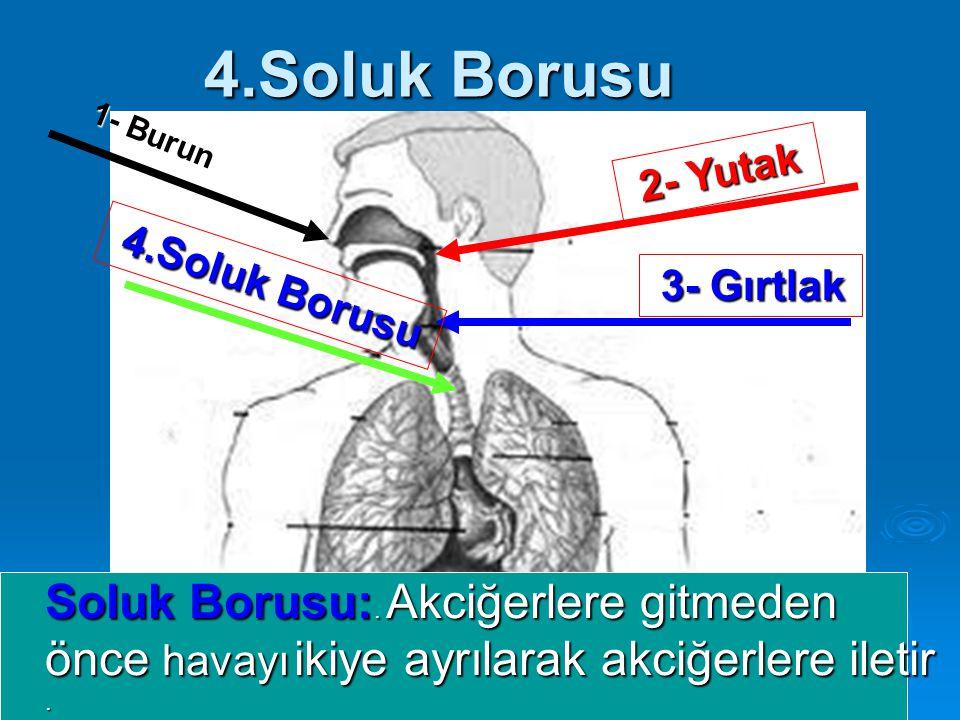 4.Soluk Borusu 1- Burun 2- Yutak Soluk Borusu:. Akciğerlere gitmeden önce havayı ikiye ayrılarak akciğerlere iletir. 3- Gırtlak 4.Soluk Borusu