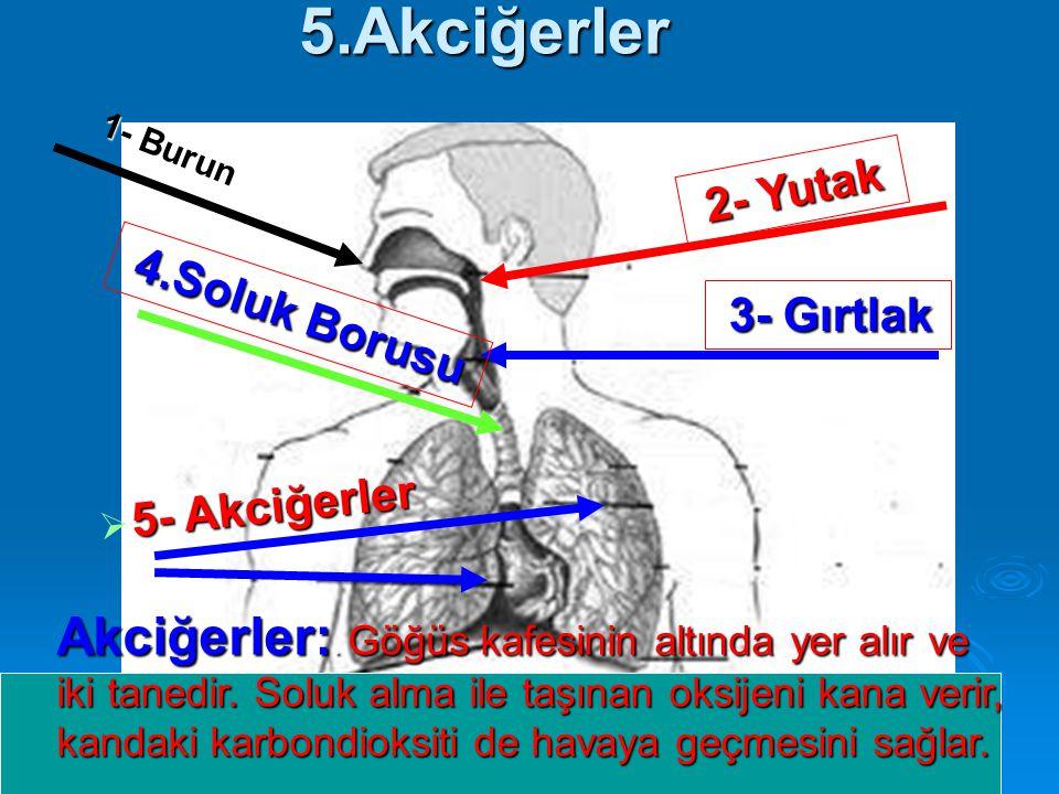 5.Akciğerler 1- Burun 2- Yutak Akciğerler:. Göğüs kafesinin altında yer alır ve iki tanedir. Soluk alma ile taşınan oksijeni kana verir, kandaki karbo
