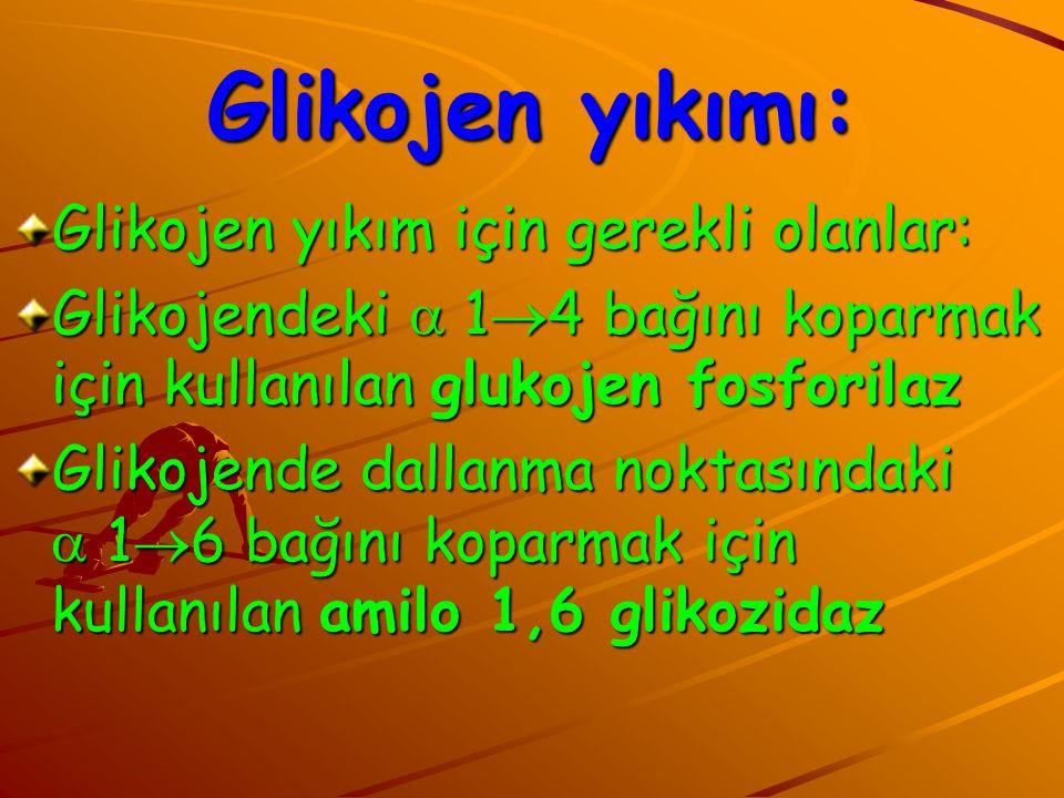 Glikojen yıkımı: Glikojen yıkım için gerekli olanlar: Glikojendeki  1  4 bağını koparmak için kullanılan glukojen fosforilaz Glikojende dallanma nok