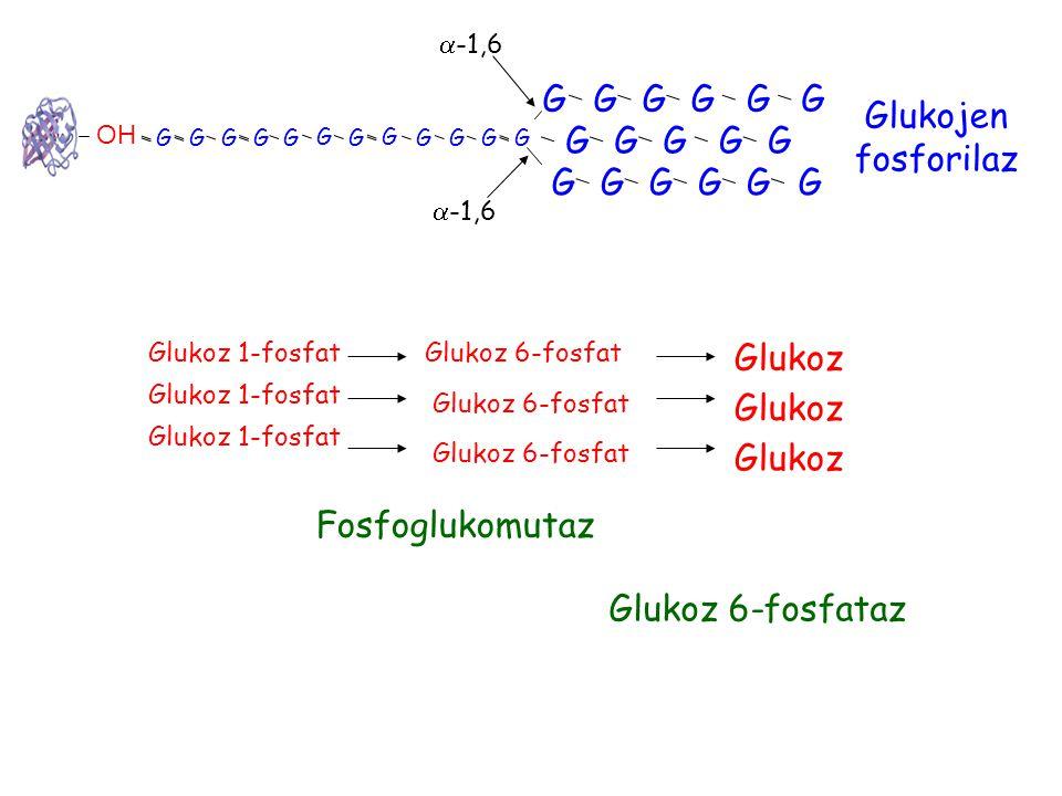 G OH G G G GG G G G G G G G G G G G G G G G G G G G G G G G  -1,6 Glukojen fosforilaz Glukoz 1-fosfat Glukoz 6-fosfat Fosfoglukomutaz Glukoz Glukoz 6-fosfataz