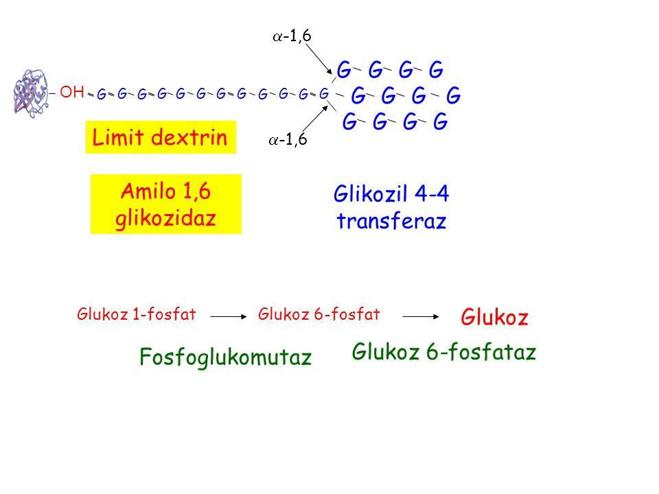 G OH G G G GG G G G G G G G G G G G G G G G G G G  -1,6 Limit dextrin Glikozil 4-4 transferaz Amilo 1,6 glikozidaz Glukoz 1-fosfatGlukoz 6-fosfat Fosfoglukomutaz Glukoz Glukoz 6-fosfataz