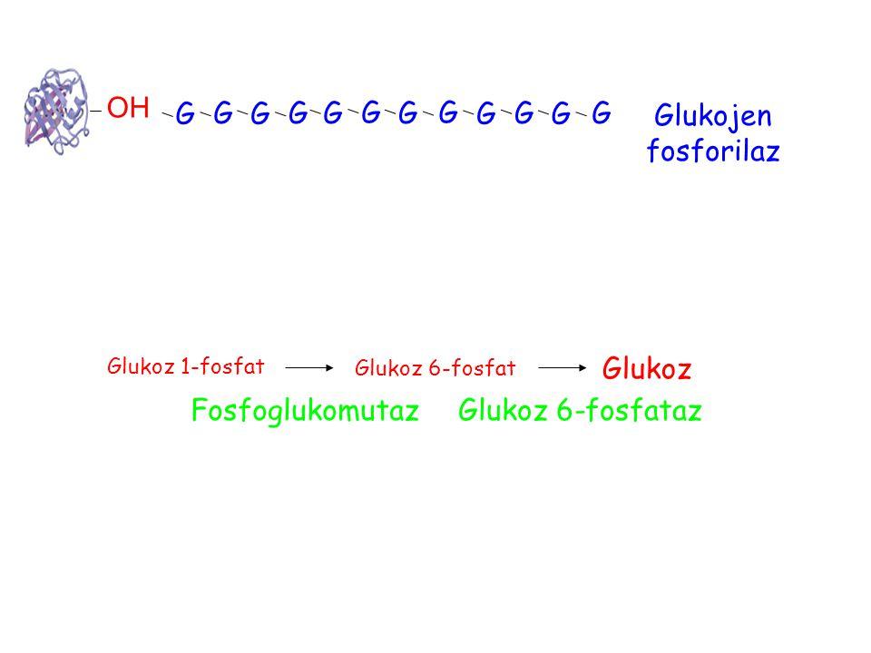 OH G G G GG G G G G G G G Glukojen fosforilaz Glukoz 1-fosfat Glukoz 6-fosfat Fosfoglukomutaz Glukoz Glukoz 6-fosfataz