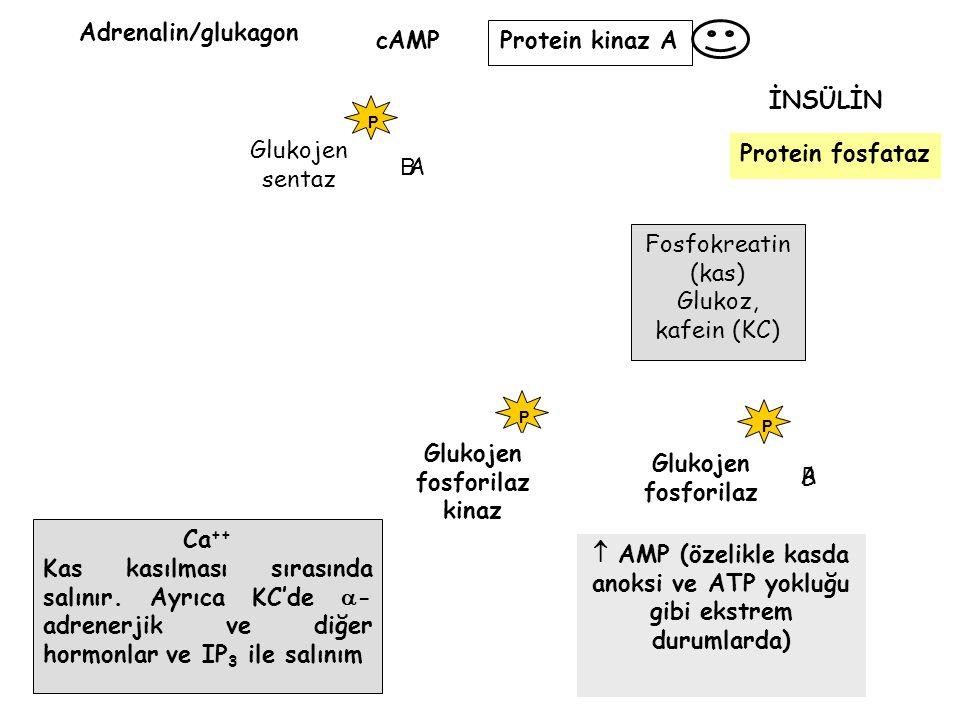 P Glukojen sentaz  AMP (özelikle kasda anoksi ve ATP yokluğu gibi ekstrem durumlarda) Adrenalin/glukagon cAMP Protein kinaz A Glukojen fosforilaz kin
