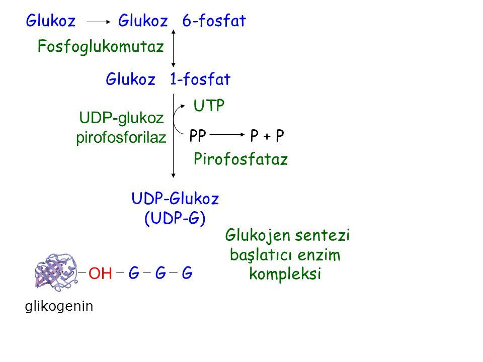UDP-G Glukojen sentezi başlatıcı enzim kompleksi Pirofosfataz UDP-glukoz pirofosforilaz Fosfoglukomutaz GlukozGlukoz 6-fosfat Glukoz 1-fosfat UTP UDP-
