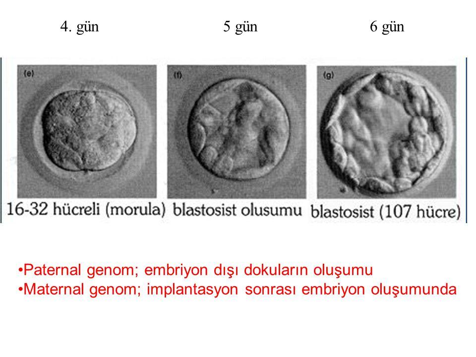 4. gün 5 gün 6 gün Paternal genom; embriyon dışı dokuların oluşumu Maternal genom; implantasyon sonrası embriyon oluşumunda