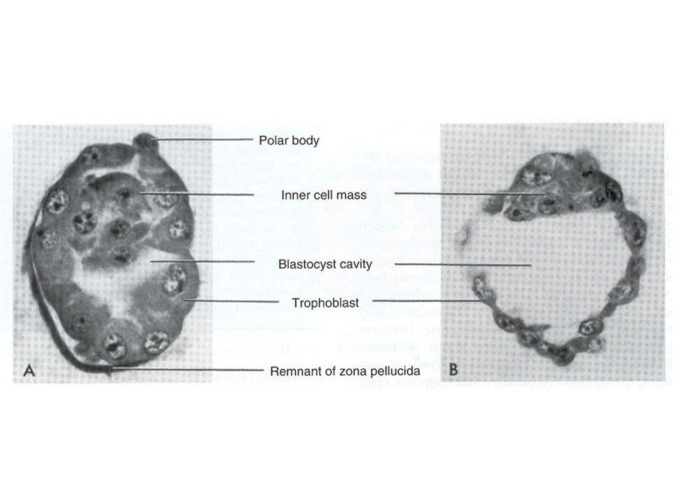 ENDOMETRİAL DEĞİŞİKLİKLER Yüzey epiteli Salgı bezleri Stroma Damar geçirgenliği