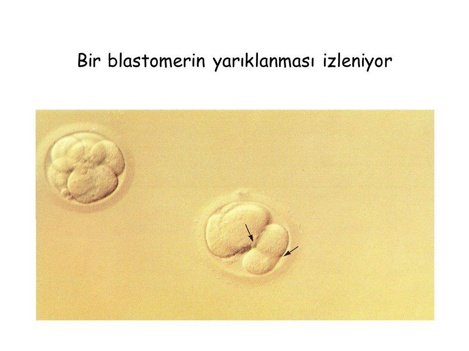 Bir blastomerin yarıklanması izleniyor