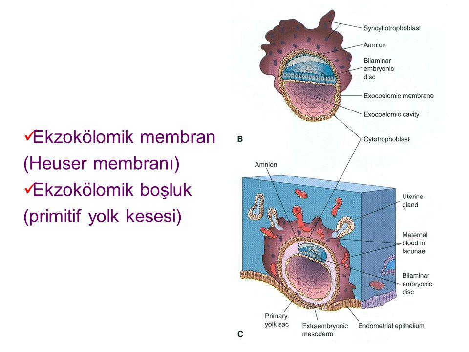 Ekzokölomik membran (Heuser membranı) Ekzokölomik boşluk (primitif yolk kesesi)