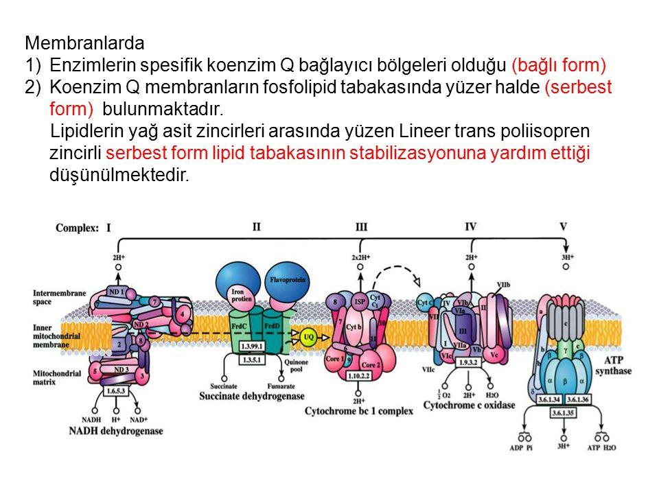 Membranlarda 1)Enzimlerin spesifik koenzim Q bağlayıcı bölgeleri olduğu (bağlı form) 2)Koenzim Q membranların fosfolipid tabakasında yüzer halde (serb