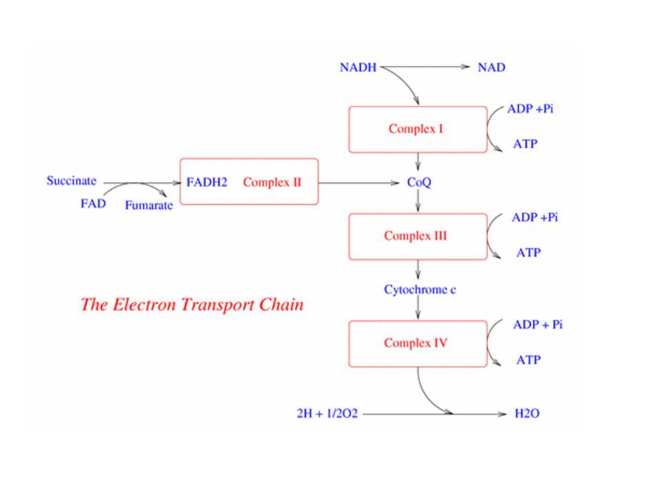 Oksidasyon-redüksiyon siklusu her kinol oksidasyon siklusu için 4 protonun membrandan geçmesine izin vermektedir.