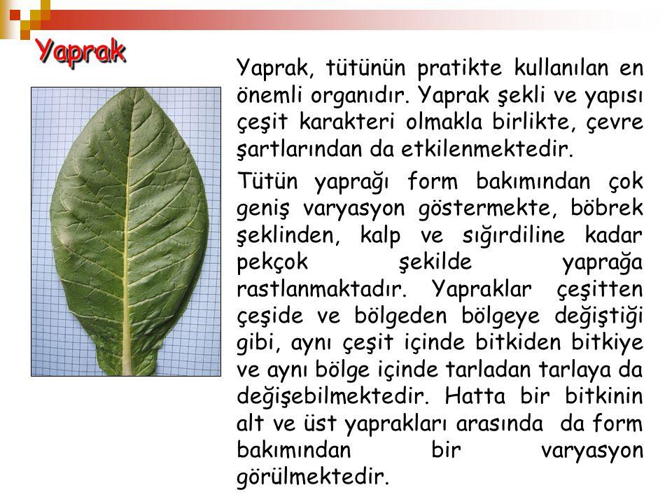 YaprakYaprak Yaprak, tütünün pratikte kullanılan en önemli organıdır. Yaprak şekli ve yapısı çeşit karakteri olmakla birlikte, çevre şartlarından da e