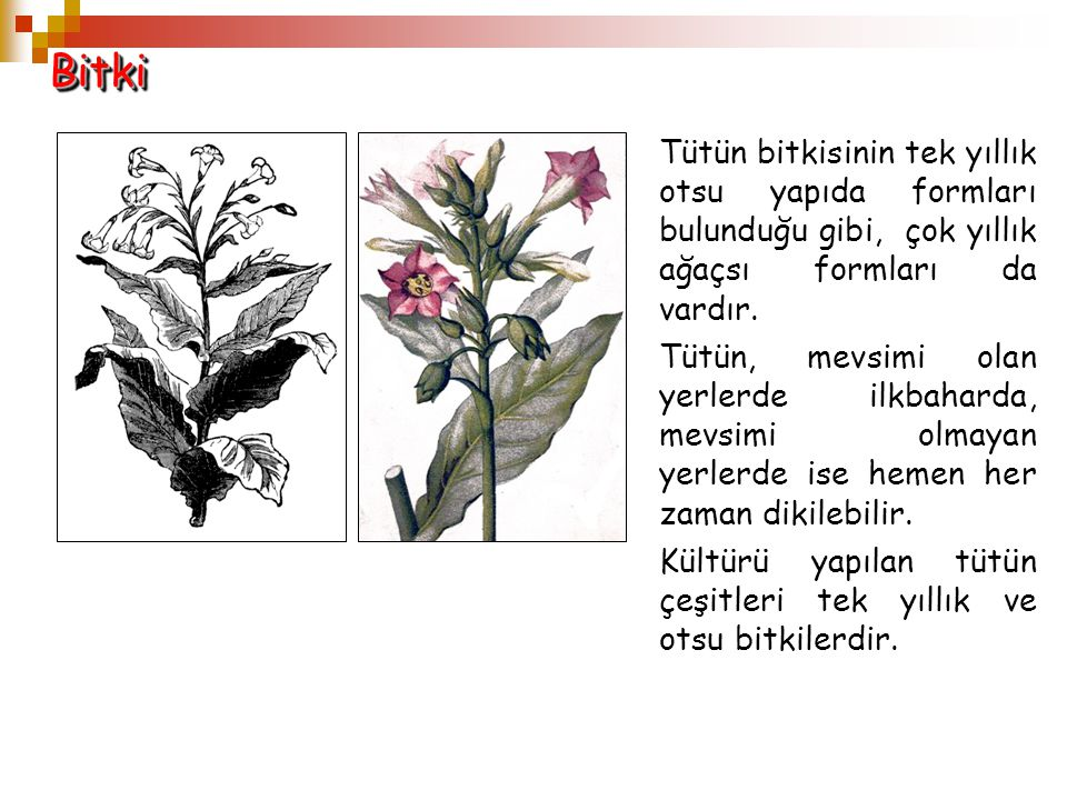 BitkiBitki Tütün bitkisinin tek yıllık otsu yapıda formları bulunduğu gibi, çok yıllık ağaçsı formları da vardır. Tütün, mevsimi olan yerlerde ilkbaha