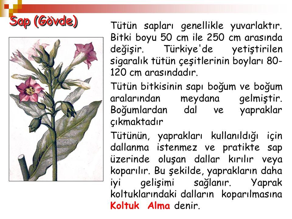 Sap (Gövde) Tütün sapları genellikle yuvarlaktır. Bitki boyu 50 cm ile 250 cm arasında değişir. Türkiye'de yetiştirilen sigaralık tütün çeşitlerinin b