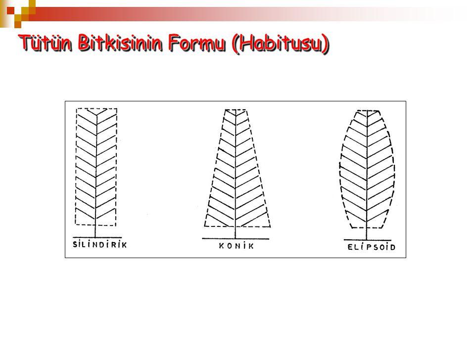 Tütün Bitkisinin Formu (Habitusu)