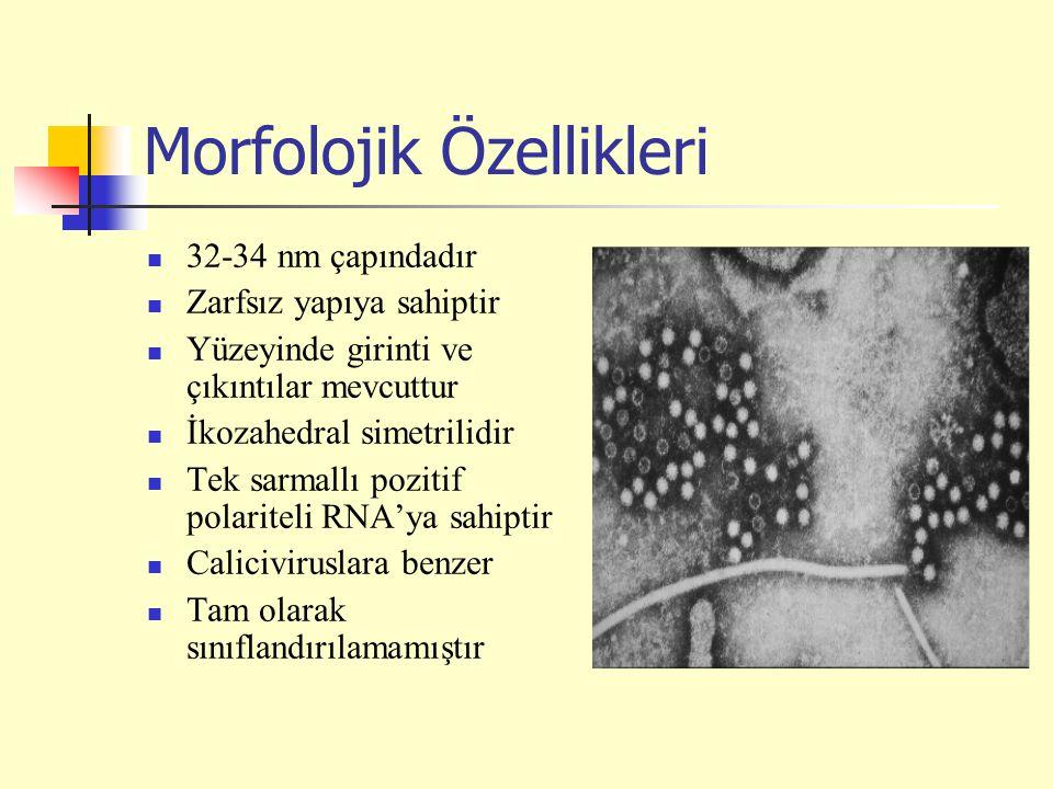Morfolojik Özellikleri 32-34 nm çapındadır Zarfsız yapıya sahiptir Yüzeyinde girinti ve çıkıntılar mevcuttur İkozahedral simetrilidir Tek sarmallı pozitif polariteli RNA'ya sahiptir Caliciviruslara benzer Tam olarak sınıflandırılamamıştır