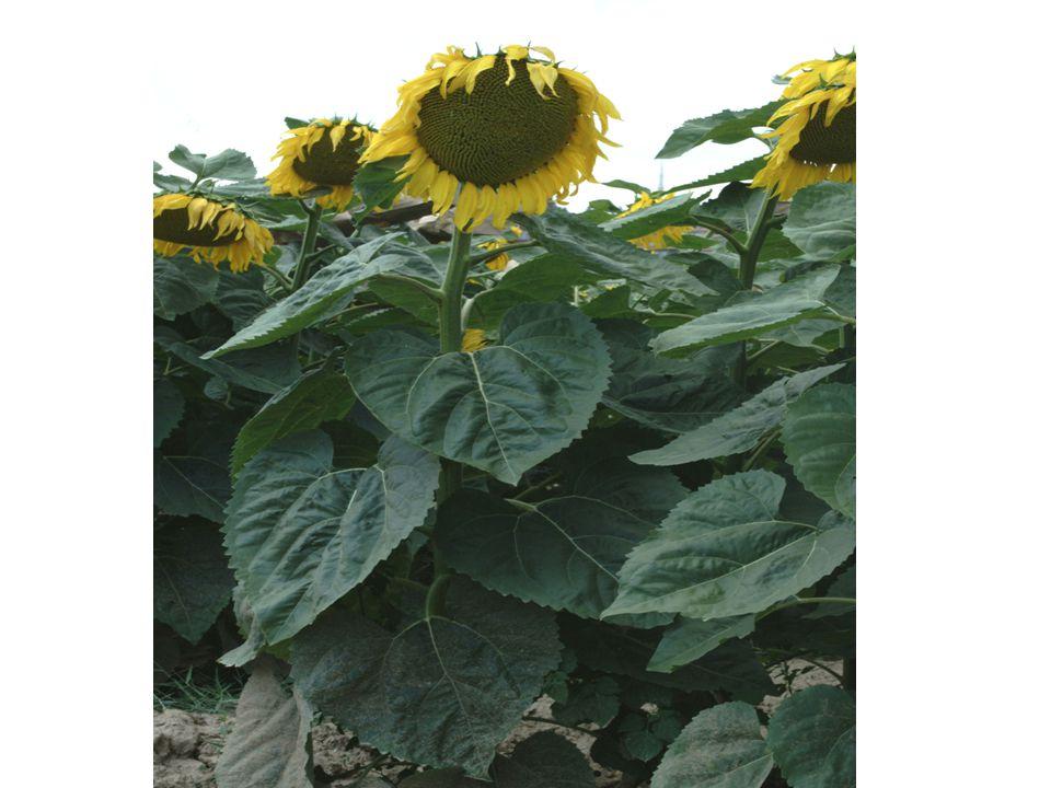 Ayçiçeği yabancı döllenen (allogam) bir bitkidir.