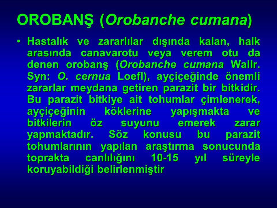 (Orobanche cumana) OROBANŞ (Orobanche cumana) Hastalık ve zararlılar dışında kalan, halk arasında canavarotu veya verem otu da denen orobanş (Orobanch