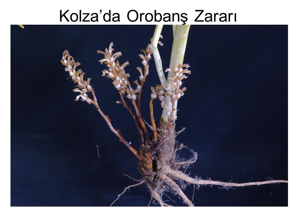 Kolza'da Orobanş Zararı
