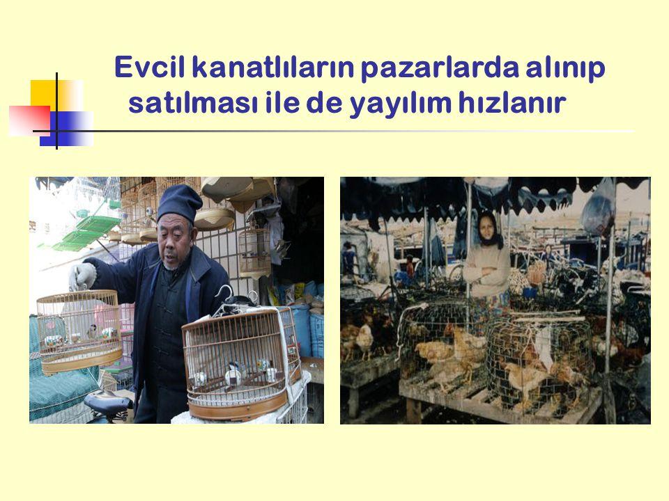 Evcil kanatlıların pazarlarda alınıp satılması ile de yayılım hızlanır