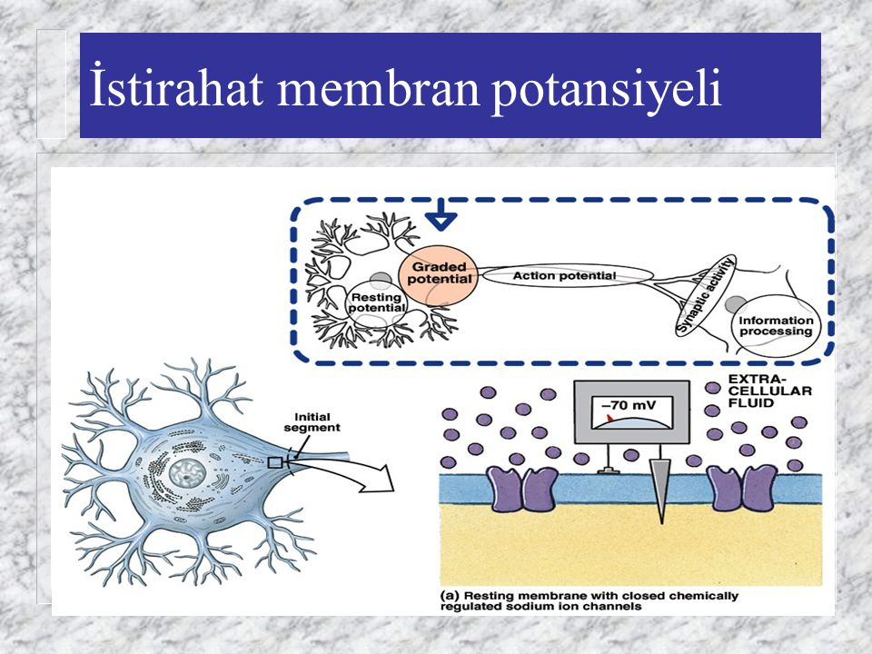 İstirahat membran potansiyeli