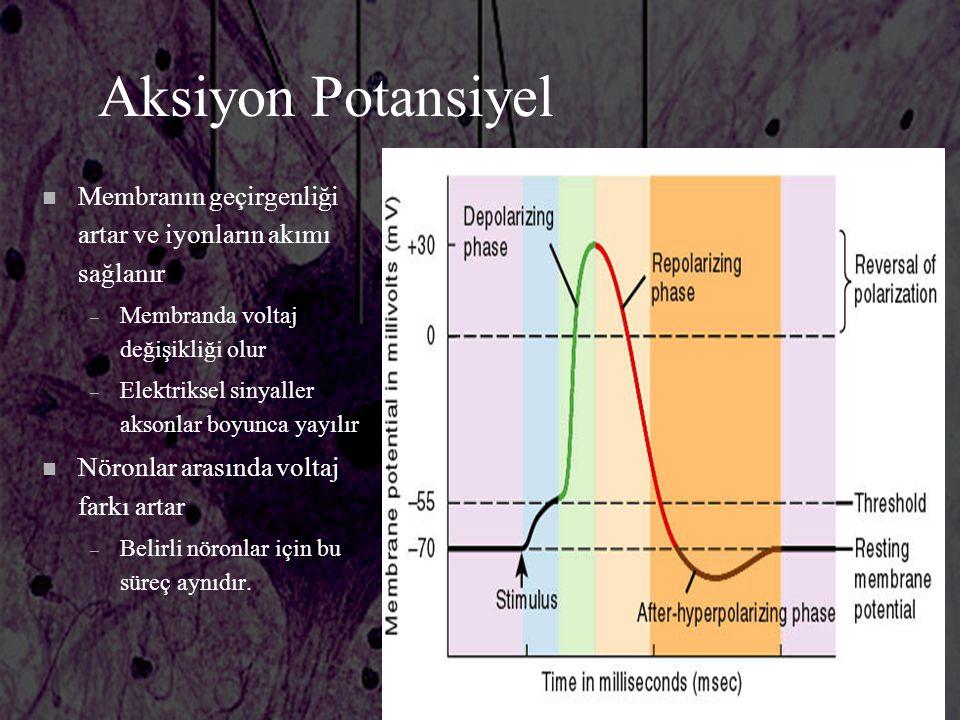 Aksiyon Potansiyel n Membranın geçirgenliği artar ve iyonların akımı sağlanır – Membranda voltaj değişikliği olur – Elektriksel sinyaller aksonlar boy