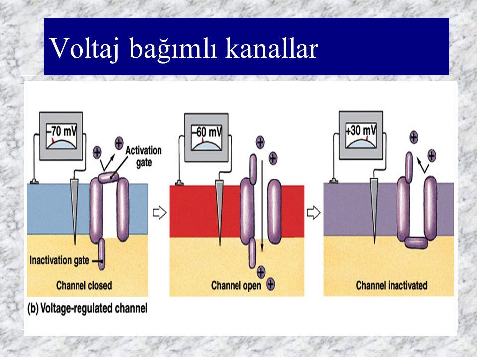 Voltaj bağımlı kanallar