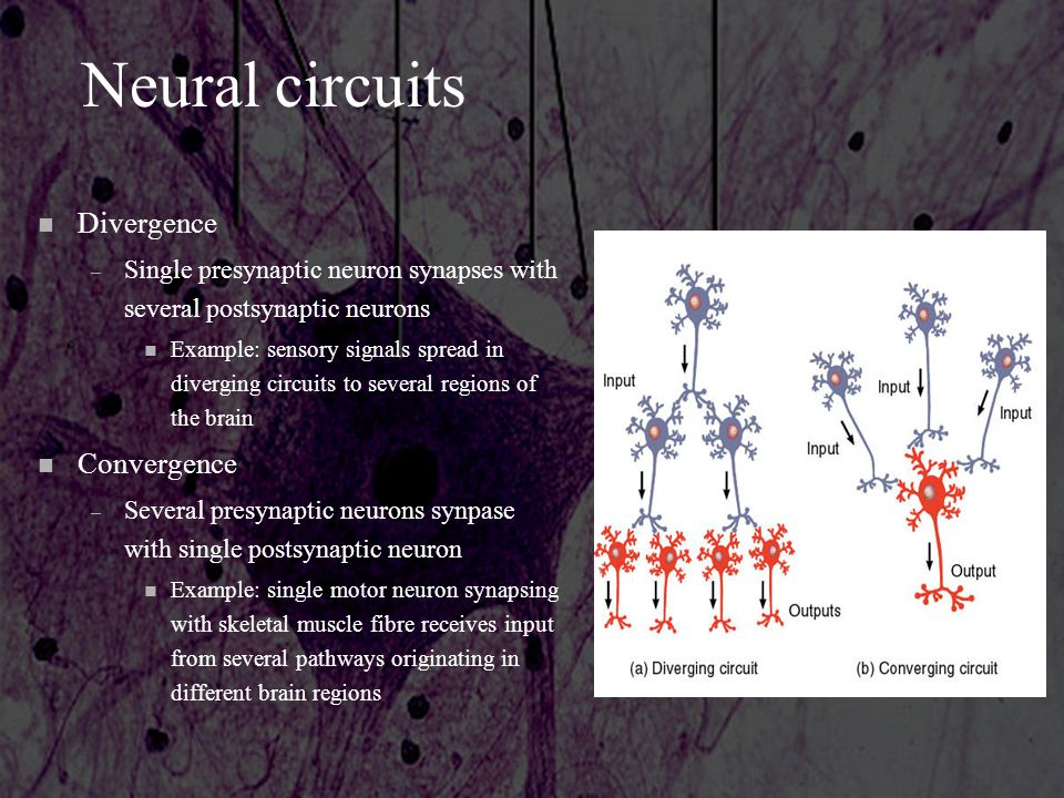 Neural circuits n Divergence – Single presynaptic neuron synapses with several postsynaptic neurons n Example: sensory signals spread in diverging cir