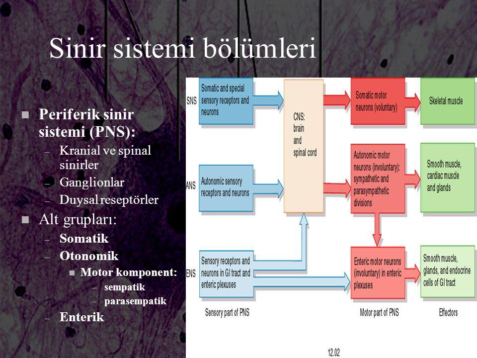 Sinir sistemi bölümleri n Periferik sinir sistemi (PNS): – Kranial ve spinal sinirler – Ganglionlar – Duysal reseptörler n Alt grupları: – Somatik – O