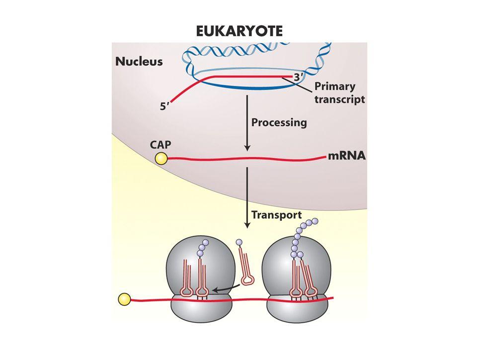elongation Bu aşamada ribozom bir fabrika gibi çalışır.herbir aa büyüyen polipeptid zincirine eklenirken deaçile tRNA başka bir aa taşımak üzere geri dönüşüm döngüsüne girer.