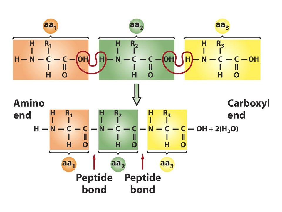 Kodondaki harf sayıları Eğer mRNA baştan sona okunursa 4 A,G,C,U)bazdan biri herbir pozisyonda bir kez bulunur.